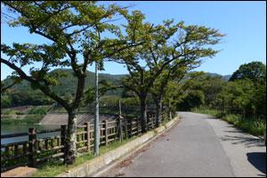 ダムサイド 桜並木