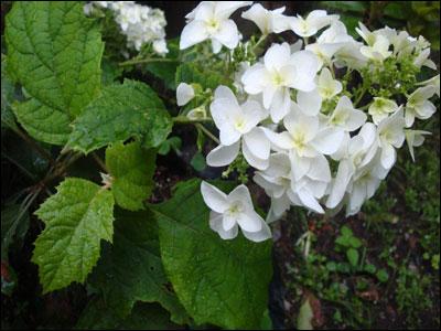 アジサイの花ー2