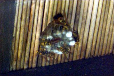 あしなが蜂の巣