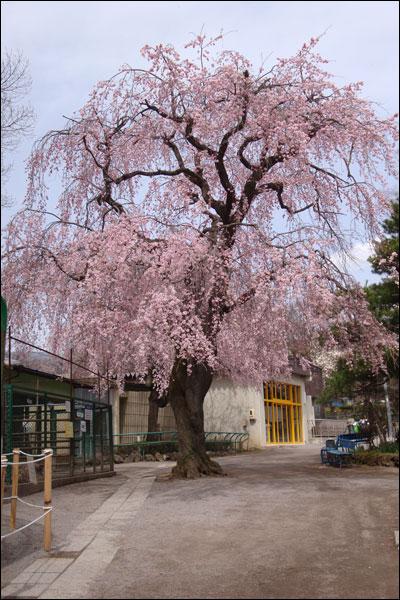 動物園の枝垂桜