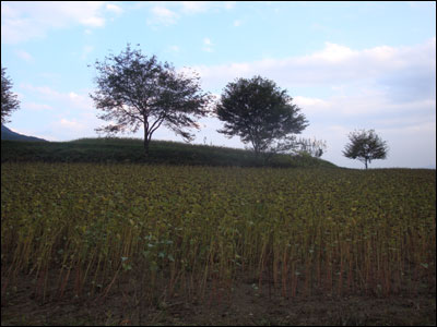 一面のそば畑-2