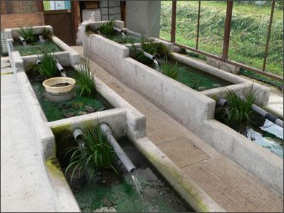 カワニナの養殖場
