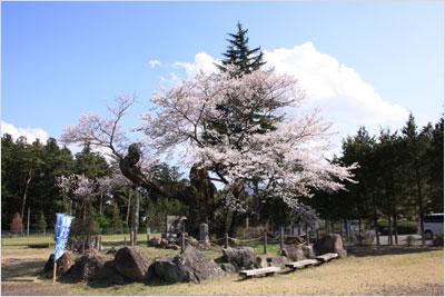上杉謙信の逆さ桜
