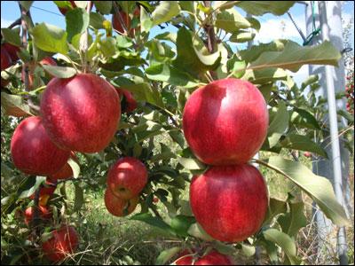 真っ赤なリンゴ