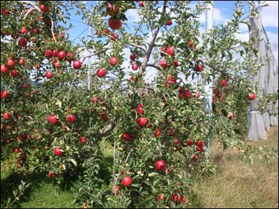 真っ赤なリンゴ-2