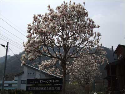 満開の木蓮