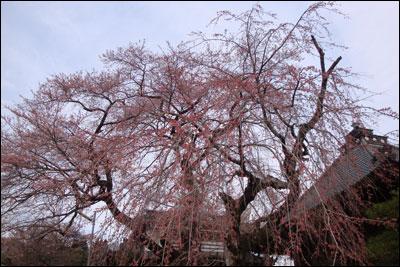 お寺の桜-2