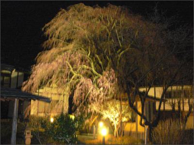 しだれ桜のライトアップ♪