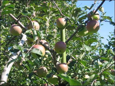 『りんごの新世界』