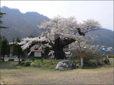 群馬県天然記念物 上杉謙信の逆さ桜