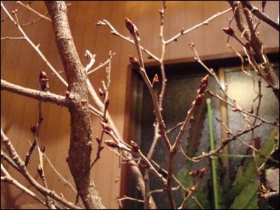 桜の つぼみ