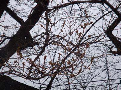 sakura-no-tubomi01.jpg