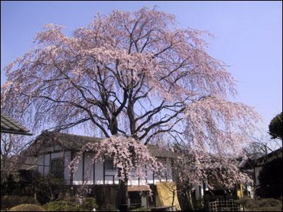 旅籠屋丸一 桜満開