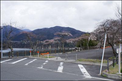 ダムサイドの桜