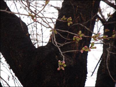 桜の開花?