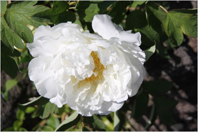 きれいな芍薬の花