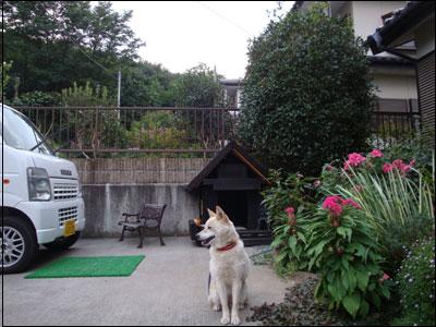 柴犬のさくら
