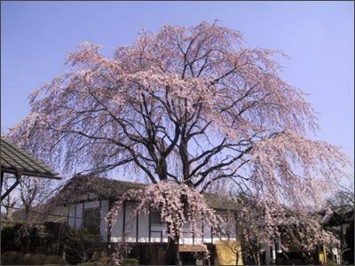 旅籠屋丸一のしだれ桜