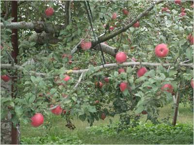 桃季館のリンゴ