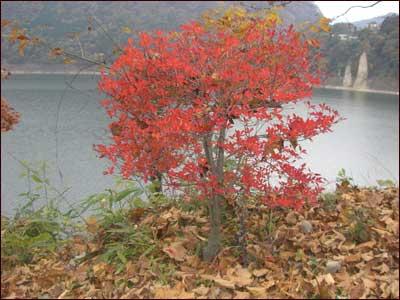 赤谷湖の真っ赤な木