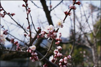 ピンクの梅の花