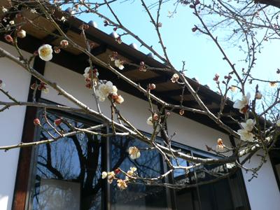 梅の開花2011