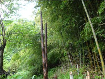雨天後の竹の子