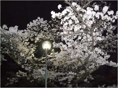 赤谷湖畔の夜桜